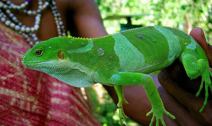 The Vanuatu Iguana – Rare Native or Lizard Impostor?